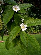 Common Medlar, flower