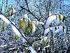Hazel,  Filbert, snowy landscape
