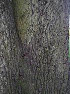 Common walnut, bark