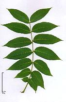 Black Walnut, leaf