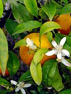 Sweet Orange, flower