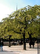 Mountain Elm, pictures
