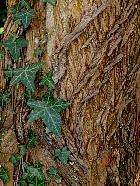 Osage Orange, Hedge Apple, bark
