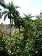 Canary Island Palm, outline