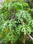 Papaya, pictures