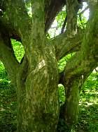 Persian Ironwood, trunk