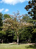 Royal Paulownia, Empress Tree, Princess Tree, outline