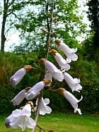 Royal Paulownia, Empress Tree, Princess Tree, flower