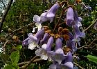 Royal Paulownia, Empress Tree, Princess Tree, flower