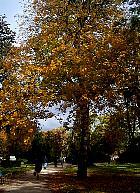 Red Buckeye, landscape