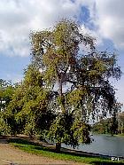 Balsam Poplar, outline