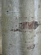White Poplar, Silver-leaved Poplar, bark