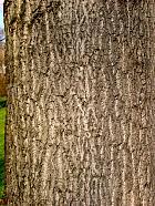 White Poplar, Silver-leaved Poplar, bark