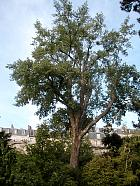 Black poplar, outline