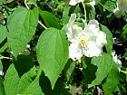 Mock Orange, flower
