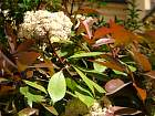 Photinia, flower