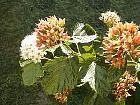 Common ninebark, flower