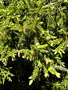 Oriental Spruce, pictures