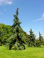 Colorado Spruce, pictures
