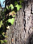 Blue Pine, bark
