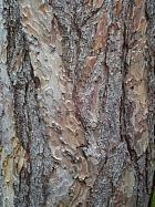 Corsican pine, bark