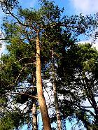Maritime pine, trunk