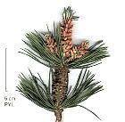 Swiss Mountain Pine, Mugo Pine, needles