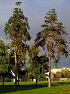 Scotch Pine, Scots Pine, outline