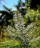 Spanish Fir, pictures