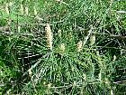 Japanese Red Pine, needles