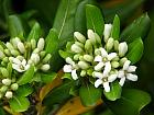 Pittosporum, flower