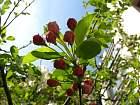 Japanese Flowering Crabapple, flower