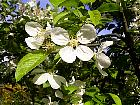 Japanese Flowering Crabapple, flower