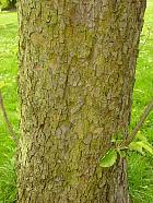 Apple tree, bark