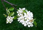 Apple tree, flower