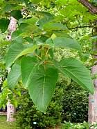 Lasiocarpa Poplar, flower