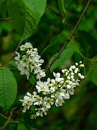 Bird Cherry, flower