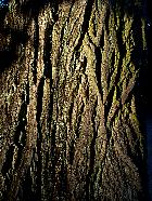 Caucasian Wingnut, bark