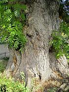 Caucasian Wingnut, trunk