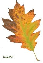 Daimyo Oak, leaf