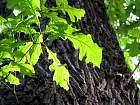 Bur Oak, leaf