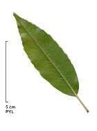 Myrsine-leaved Oak, leaf