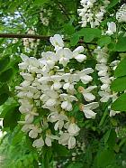 Black Locust, Common Locust, Yellow, White Locust, pictures