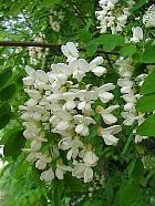 Black Locust, Common Locust, Yellow, White Locust, flower