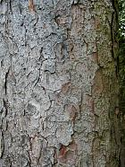 Silver Fir, bark