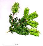 Nordmann Fir, needles