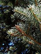 Nordmann Fir, flower