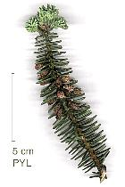 Spanish Fir, flower
