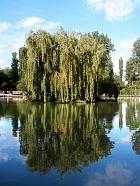 Wisconsin Weeping Willow, outline