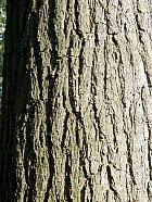 Panicled Goldenrain Tree, Varnish Tree, bark